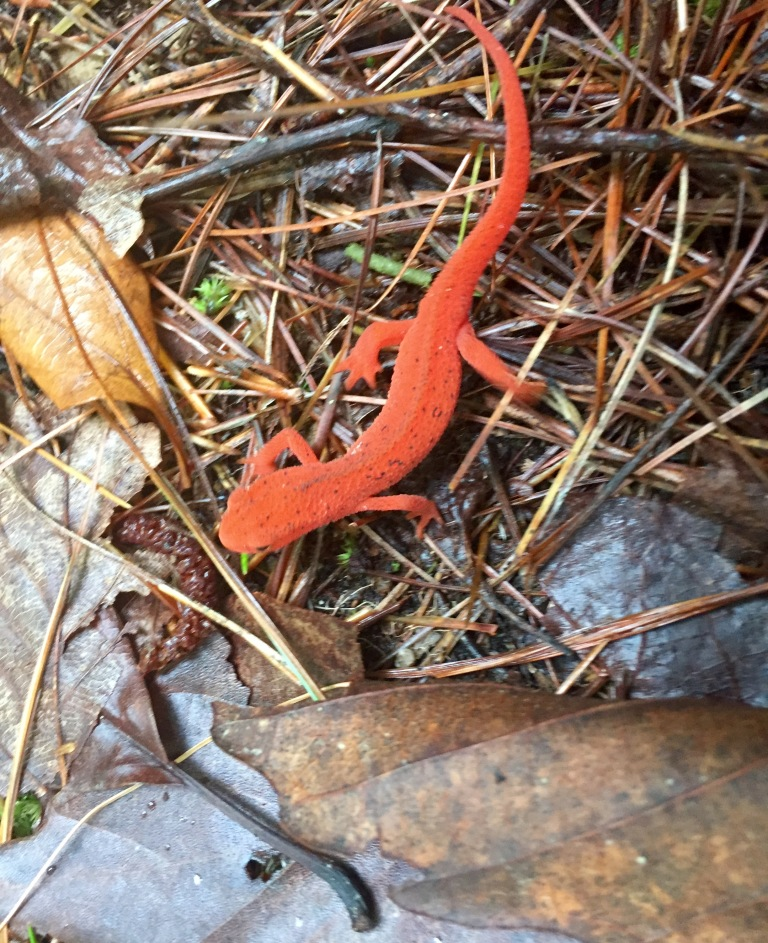 Red Newt spotted near campsite